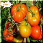 Desi Tomato Free Seeds